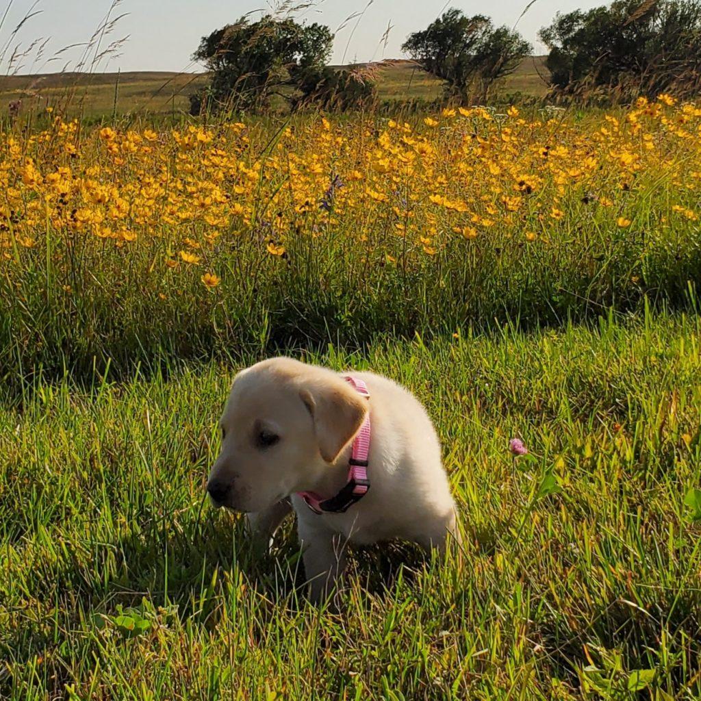 Nebraska Registered Lab puppies for Sale