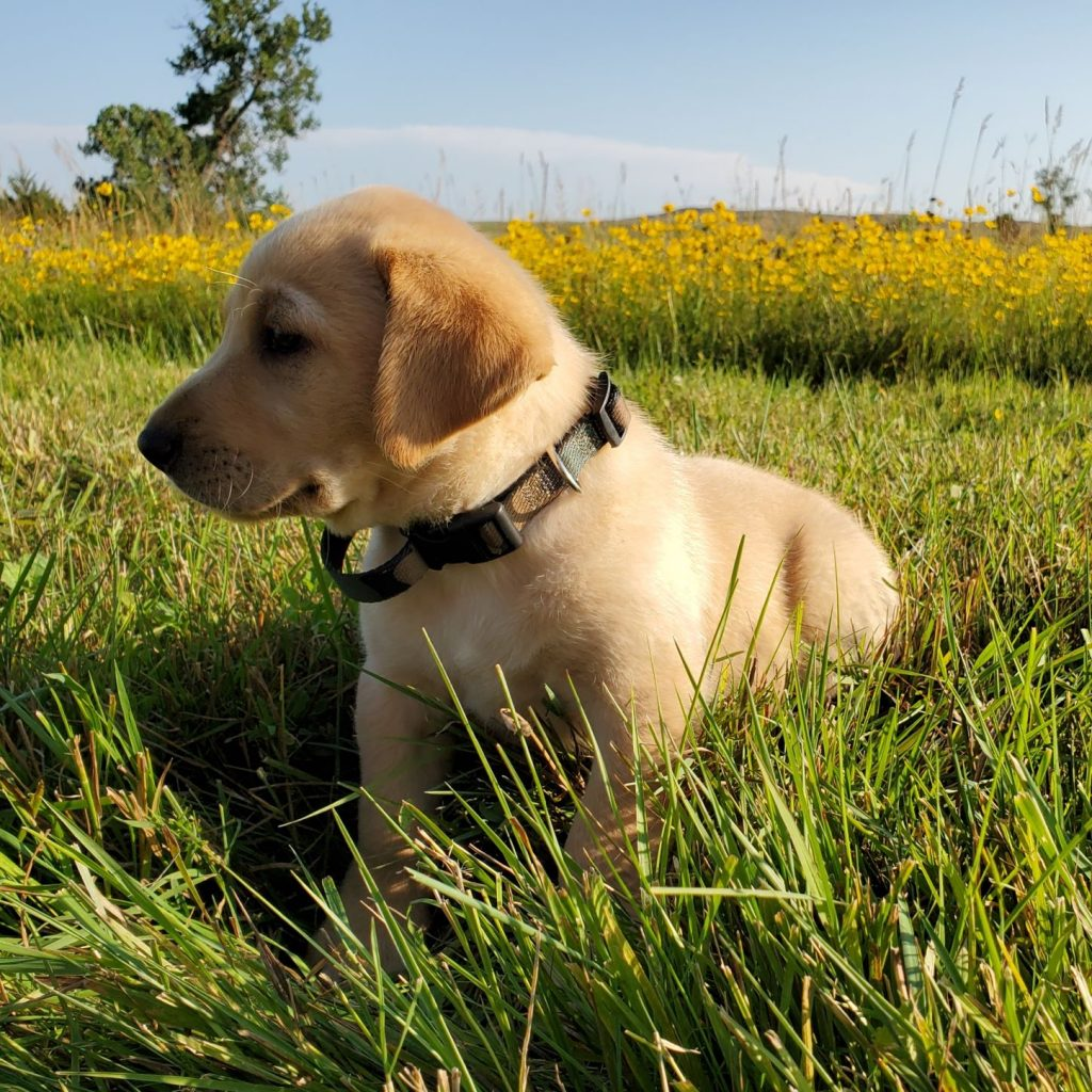 Nebraska AKC Labrador Retriever Puppies for Sale