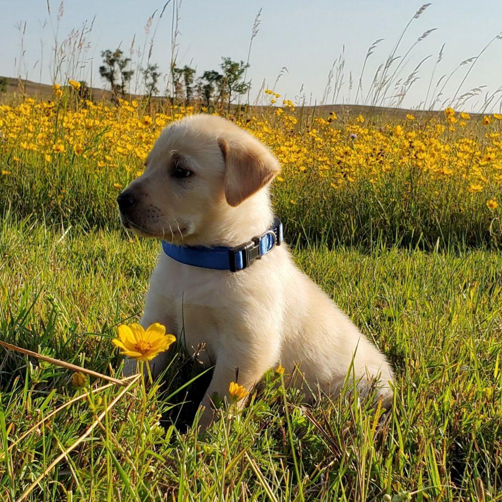 South Dakota Lab Puppy for Sale