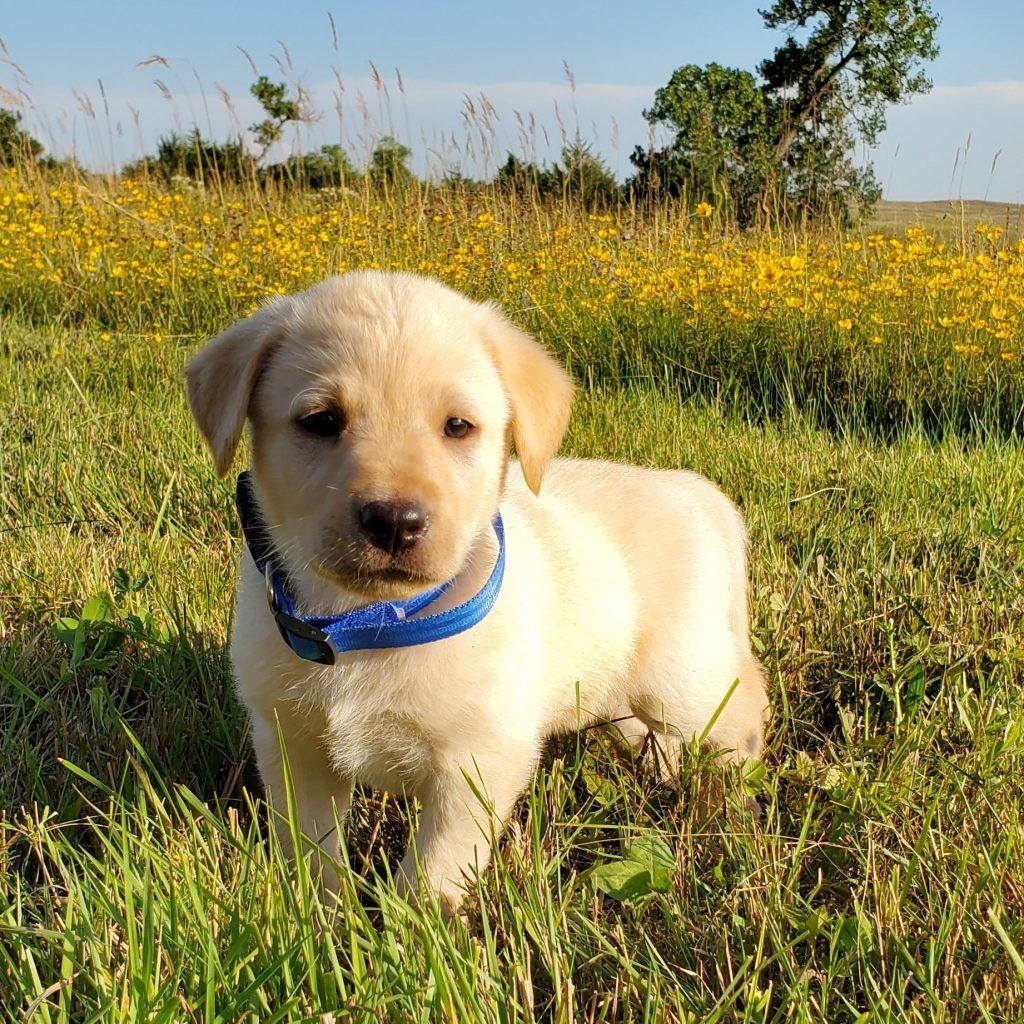 Nebraska Yellow Labrador Puppy for Sale