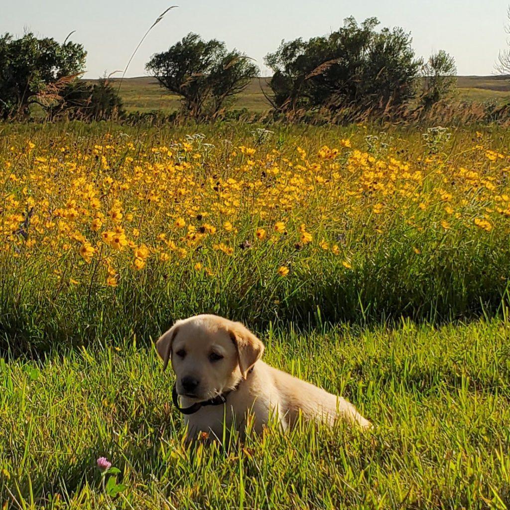 Nebraska AKC Labrador Puppies for Sale