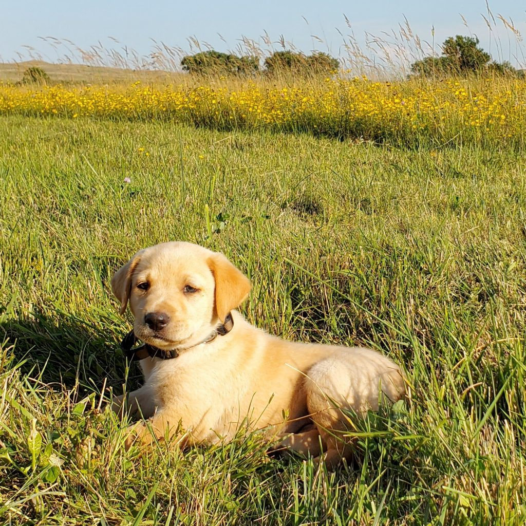 Nebraska AKC Labrador Puppy for Sale