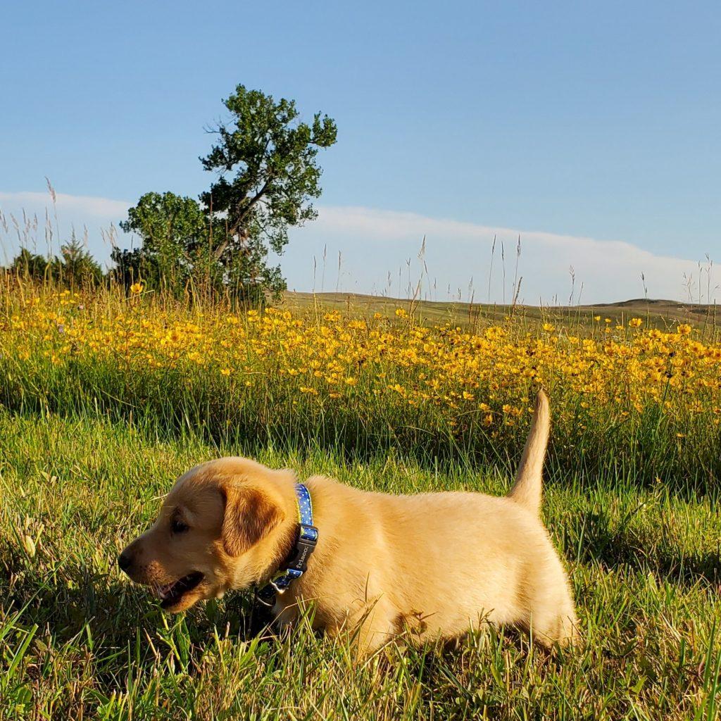 Nebraska Registered Lab Puppy for Sale