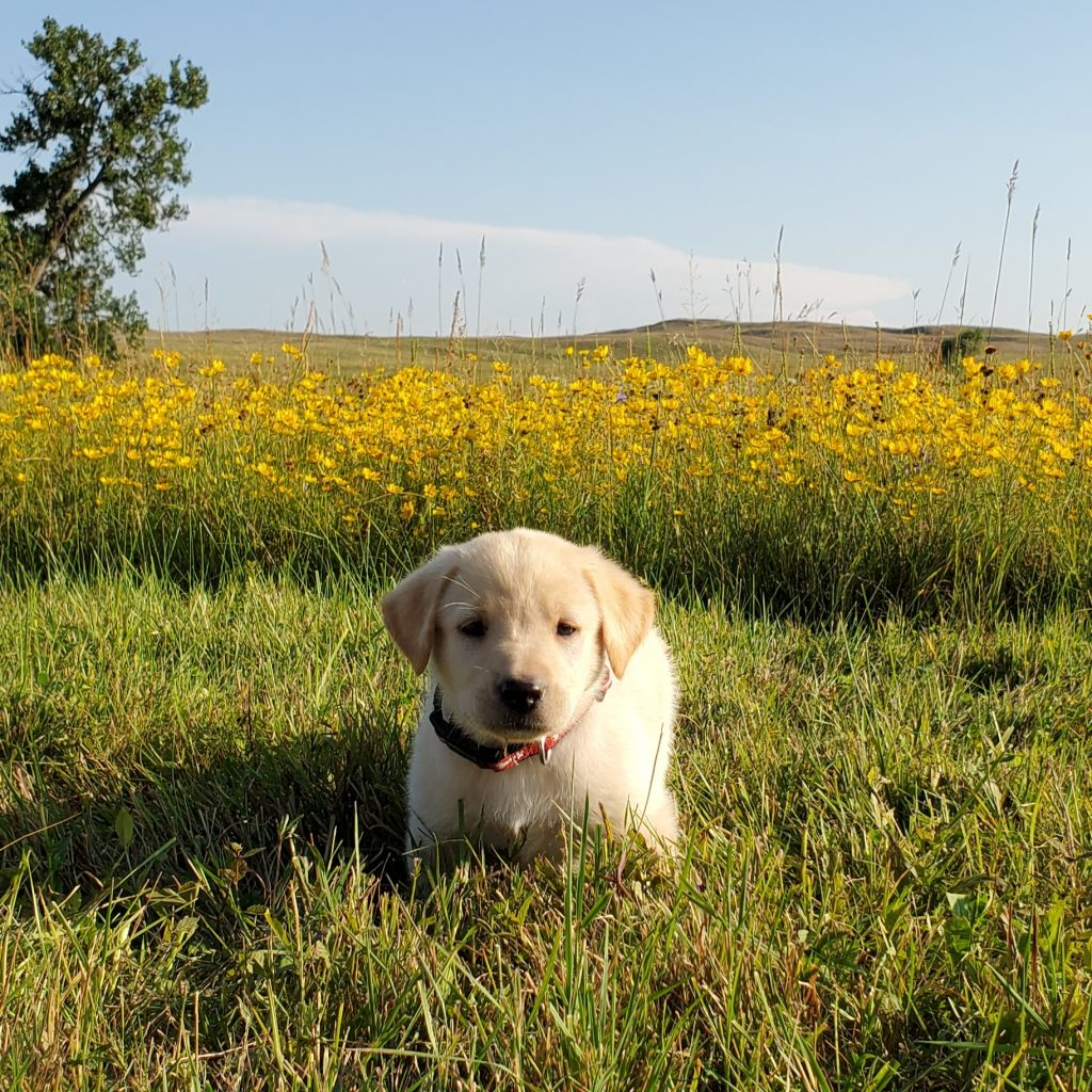 Nebraska Lab Puppy for Sale