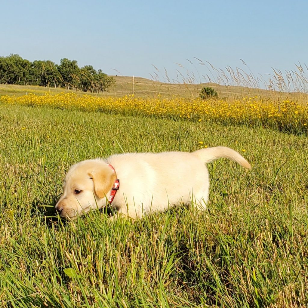 Nebraska Labrador Puppy for Sale