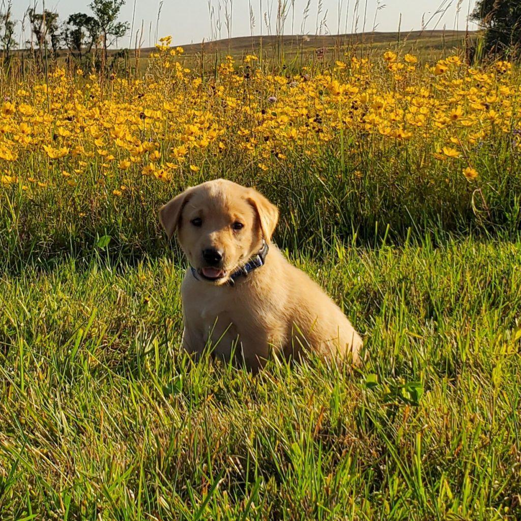 Nebraska Hunting Lab Puppy for Sale