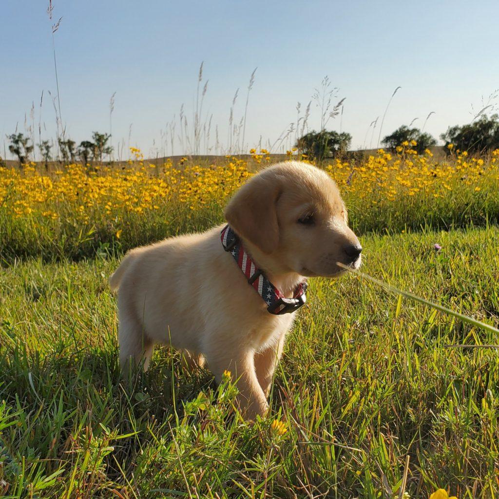 Nebraska Yellow REgistered Labrador Puppy for Sale