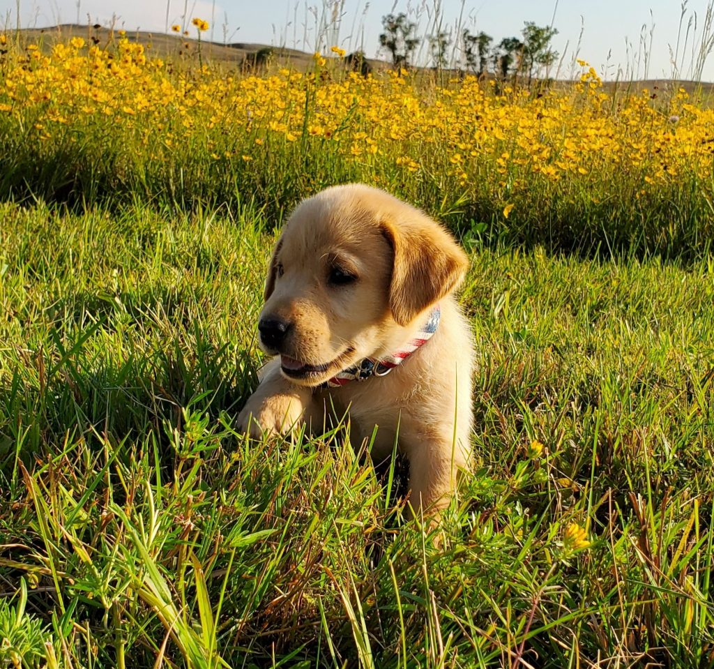 Nebraska AKC Registered Labrador Retrievers for Sale