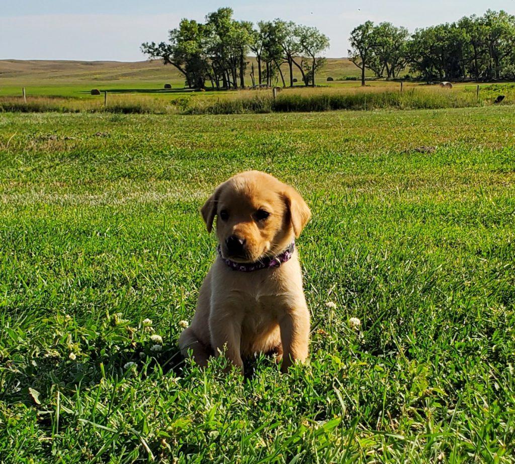 Nebraska Labrador Retriever Pups for Sale