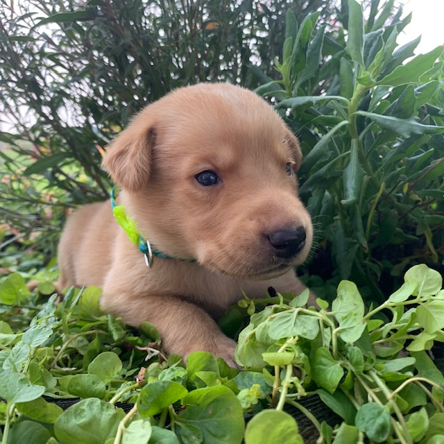 Nebraska Yellow Labrador Retriever Pups for Sale