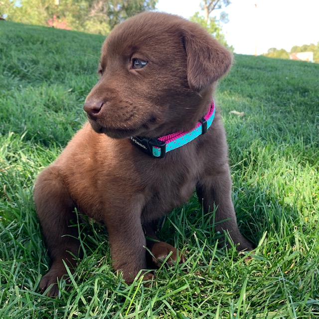 Nebraska Registered Chocolate Lab Puppies for Sale