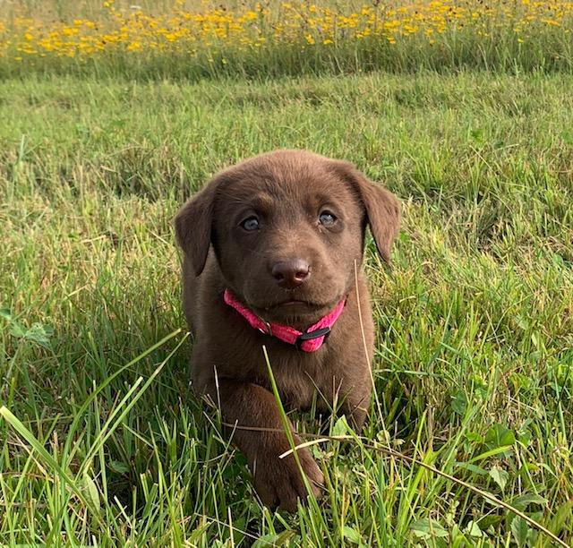 Nebraska Purebred Chocolate Lab Puppies for Sale