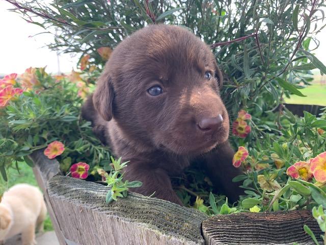 Nebraska Chocolate Labrador Puppies for Adoption