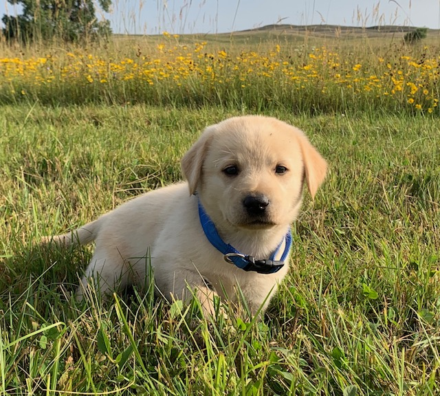 Nebraska Yellow Lab Puppies
