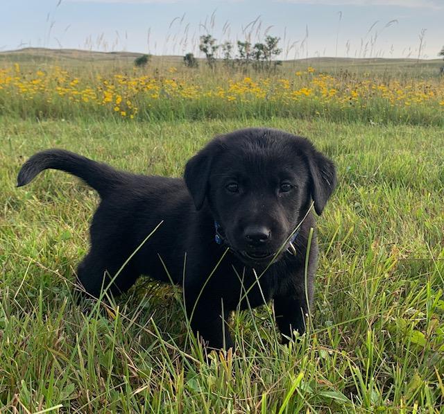 NE Black Labrador Retriever Puppies for Sale