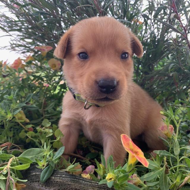 Nebraska Registered Yellow Lab Puppies for Sale