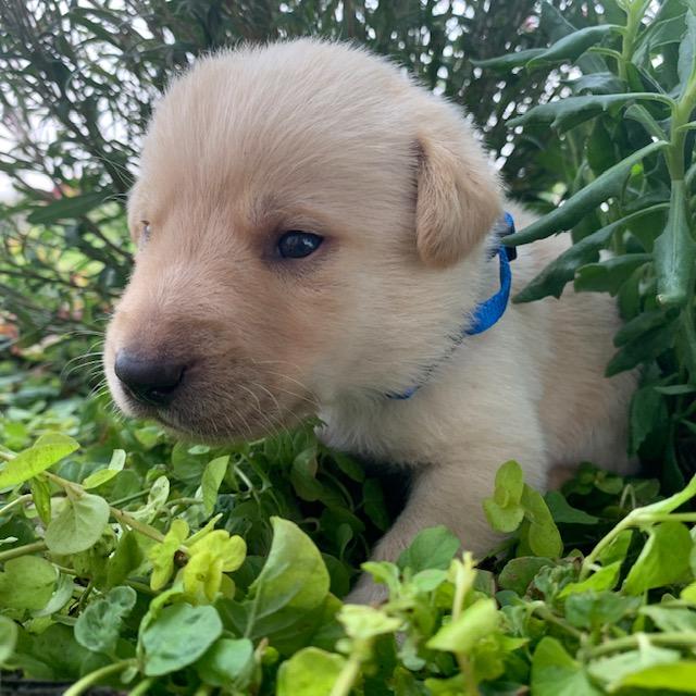 Nebraska's best labrador puppies