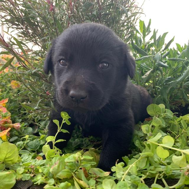 nebraska black labrador puppies for sale