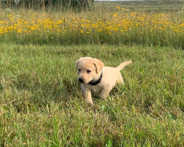 Nebraska Hunting Dogs for Sale