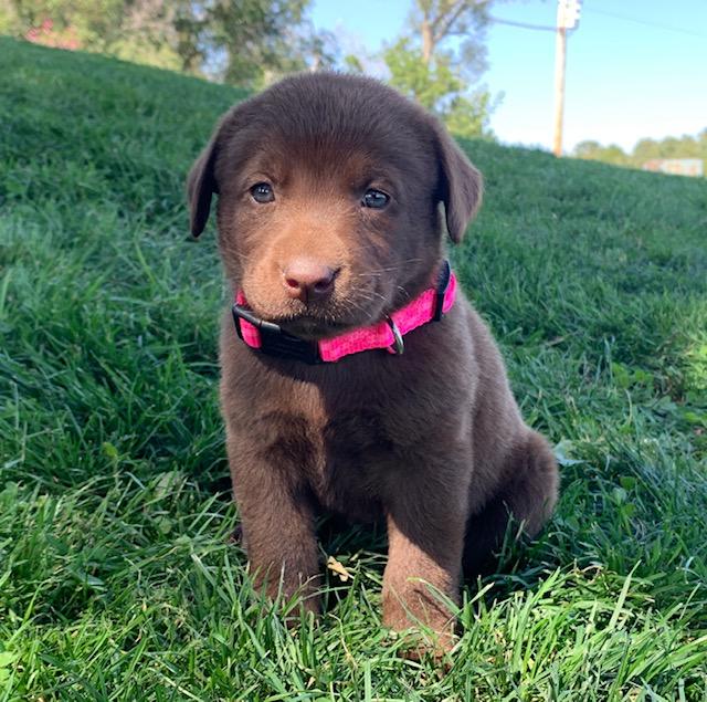 Nebraska Registered Labrador Retrievers for Sale