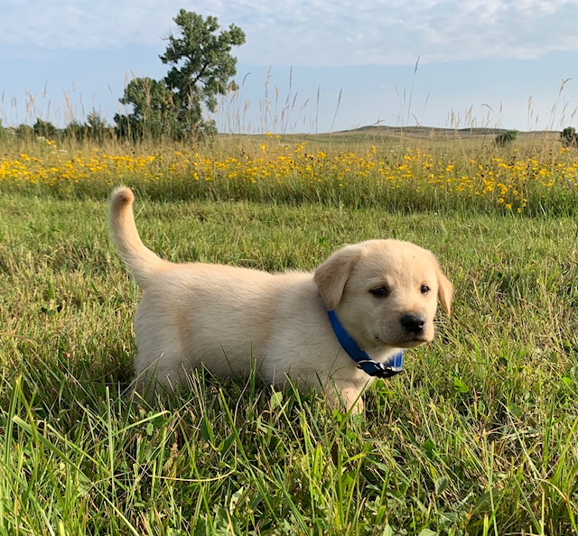 Nebraska Yellow Labrador Puppies for Sale