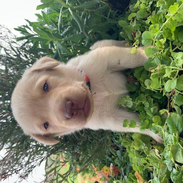 Nebraska yellow liver nosed labrador puppies for sale